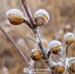 서리꽃 산수유