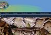 플로리다 '애물단지' 버마산 비단뱀 사냥대회 열린다