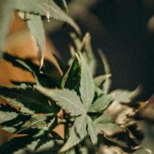 캐나다 마리화나 합법화 대부분 찬성